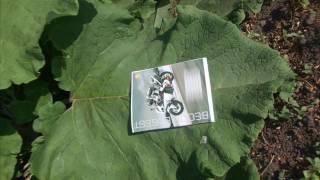 видео Лопух (репейник):: лечебные свойства и способы применения лопуха
