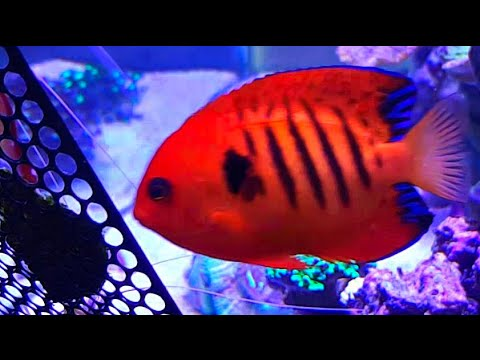 JBJ 45 Gallon Rimless Reef - Flame Angel Eating Nori