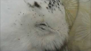 Snowy Owl Feather Lice
