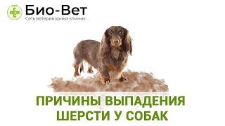 У Собаки Выпадает Шерсть & Причины Выпадения Шерсти У Собак. Ветклиника Био-Вет