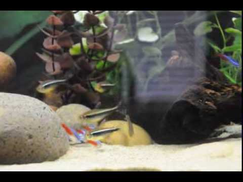 Feeding Frenzy Neon And Black Tetra With BGK (black Ghost Knife)