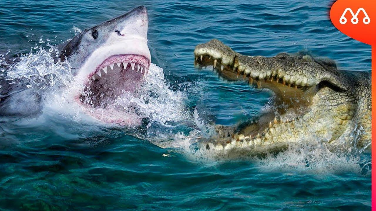TUBARÃO VS CROCODILO: QUEM TEM A MORDIDA MAIS FORTE? Shark vs Crocodile