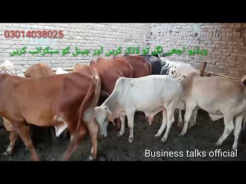 بچھڑے برائے فروخت وچھا فارمنگ پاکستان How To Start Vacha Farming In Pakistan