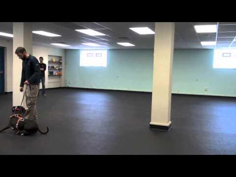 Training An Aggressive Pit Bull   K9 Connection Dog Training   Buffalo NY