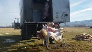Mobile Farm Slaughter of a Lamb