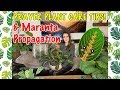 Prayer Plant Care Tips 💚🌿 Maranta Propagation