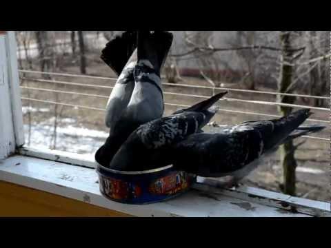 Боевые голуби мультфильм