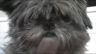 Ewok On Earth - Disguised As A Shih Tzu Dog - Secret Agent
