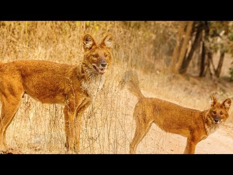 """""""สูญพันธุ์?"""" (Toward Extinction?) SE01EP8  """"หมาในเอเชีย สัตว์ป่าใกล้สูญพันธุ์"""""""