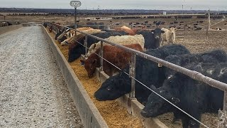 Cattle Market Analysis - Mike Briggs - January 6, 2017