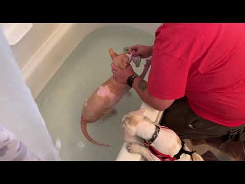 Sphynx cat hates taking a bath funny cat video