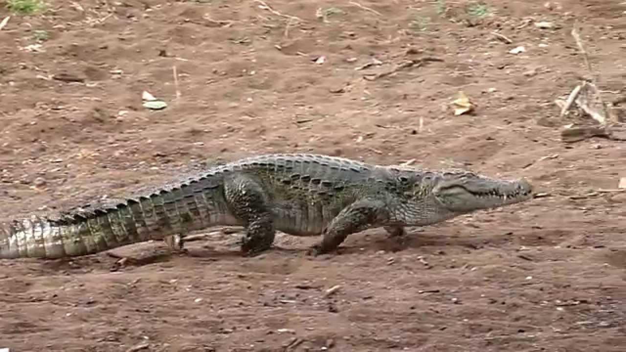 crocodile walk - Ranthambhore by vipultiger2001@gmail.com - YouTube