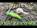 【昆虫観察】クロコノマチョウの幼虫とカタツムリの絡みが面白い!!