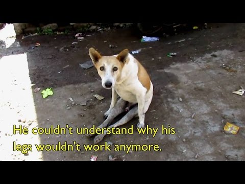 THE DOG WHOSE LEGS WON'T WORK! - Paralysed dog rescue