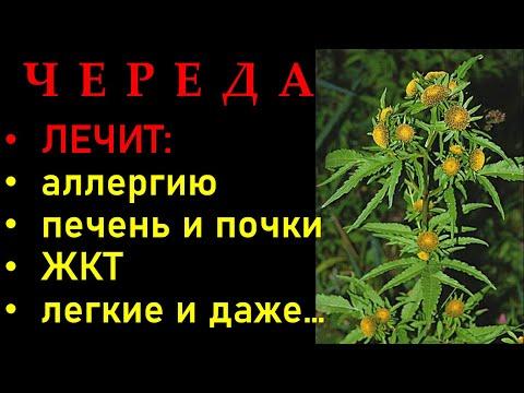 ЧЕРЕДА трава ЛЕЧЕБНЫЕ свойства: ОТ АЛЛЕРГИИ,  при болезнях ЛЕГКИХ, ЖКТ, ПЕЧЕНИ и ПОЧЕК