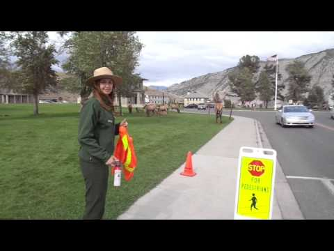Park Ranger Protects Peds from Elk at Mammoth Hot Springs, Yellowstone National Park