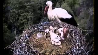Snake in the stork nest (10.06.12) part 2