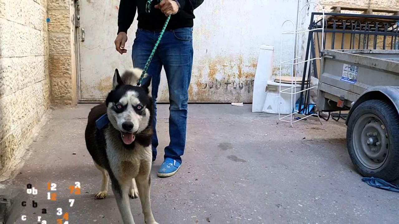كلاب الهسكي السبيري مع جمال العمواسي Youtube