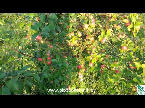 Яблоня сорт Елена.