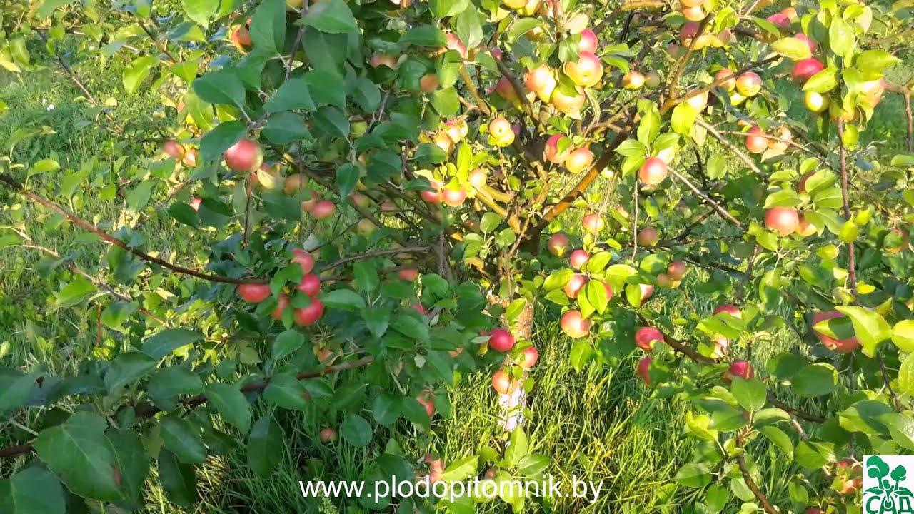 мечта яблоня фото