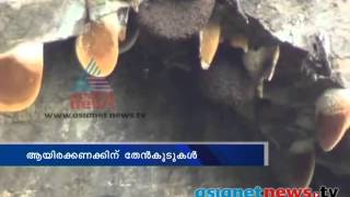 Beehives Cluster On Steep Rock Face. Idukki Kanthalloor:: Interesting Video