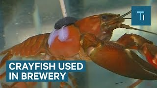 This Brewery Uses Crayfish To Control Water Purity