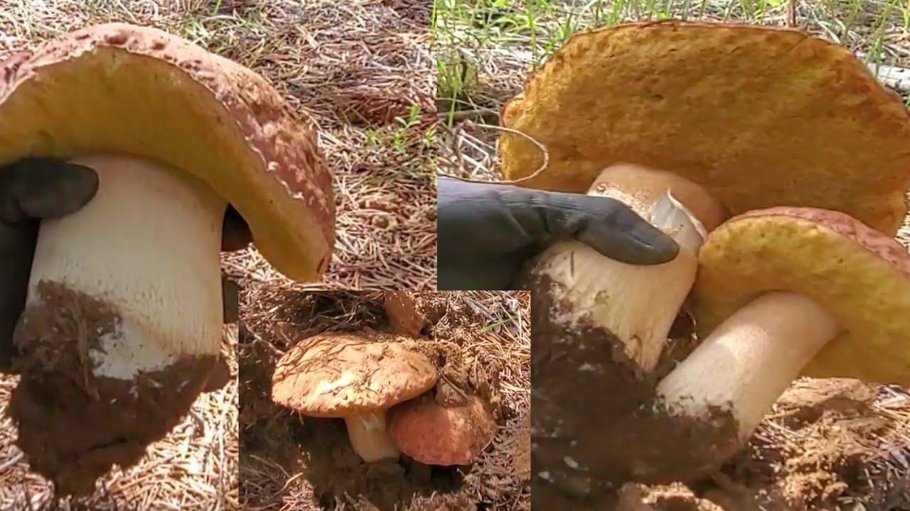 Ep.7 4/6 มาสนุกกับการเก็บเห็ดผึ้งหวานยักข์ต่อค่ะ🍄King bolete Mushrooms 🍄July 20,2020