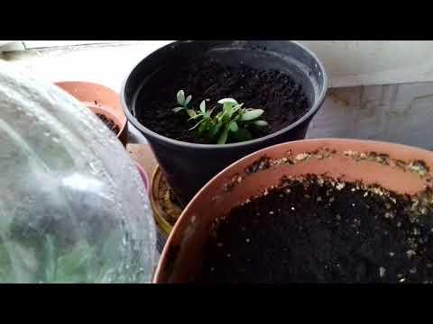Полное видео про выращивание купленных азалий