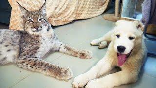 ВСТРЕЧА ДВУХ РЫСЕЙ. Вкусный щенок САО и суровый дикий кот Мартин