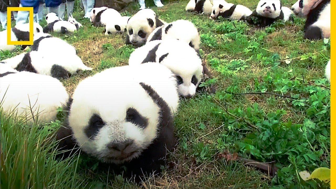 Excepcional BABY BOOM de PANDAS GIGANTES en CHINA | National Geographic en  IR42