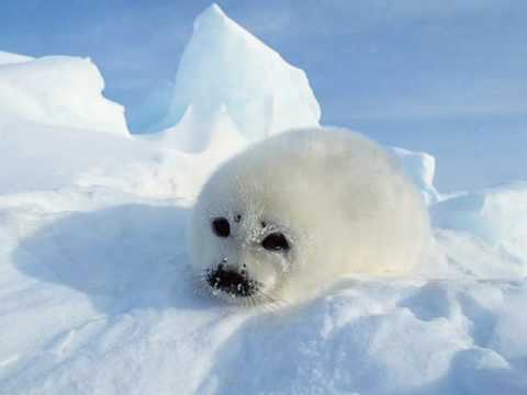 arctic animals artic pole north animal polar seal creatures canada cute ice cold winter lives seals antartic animaux wild snow