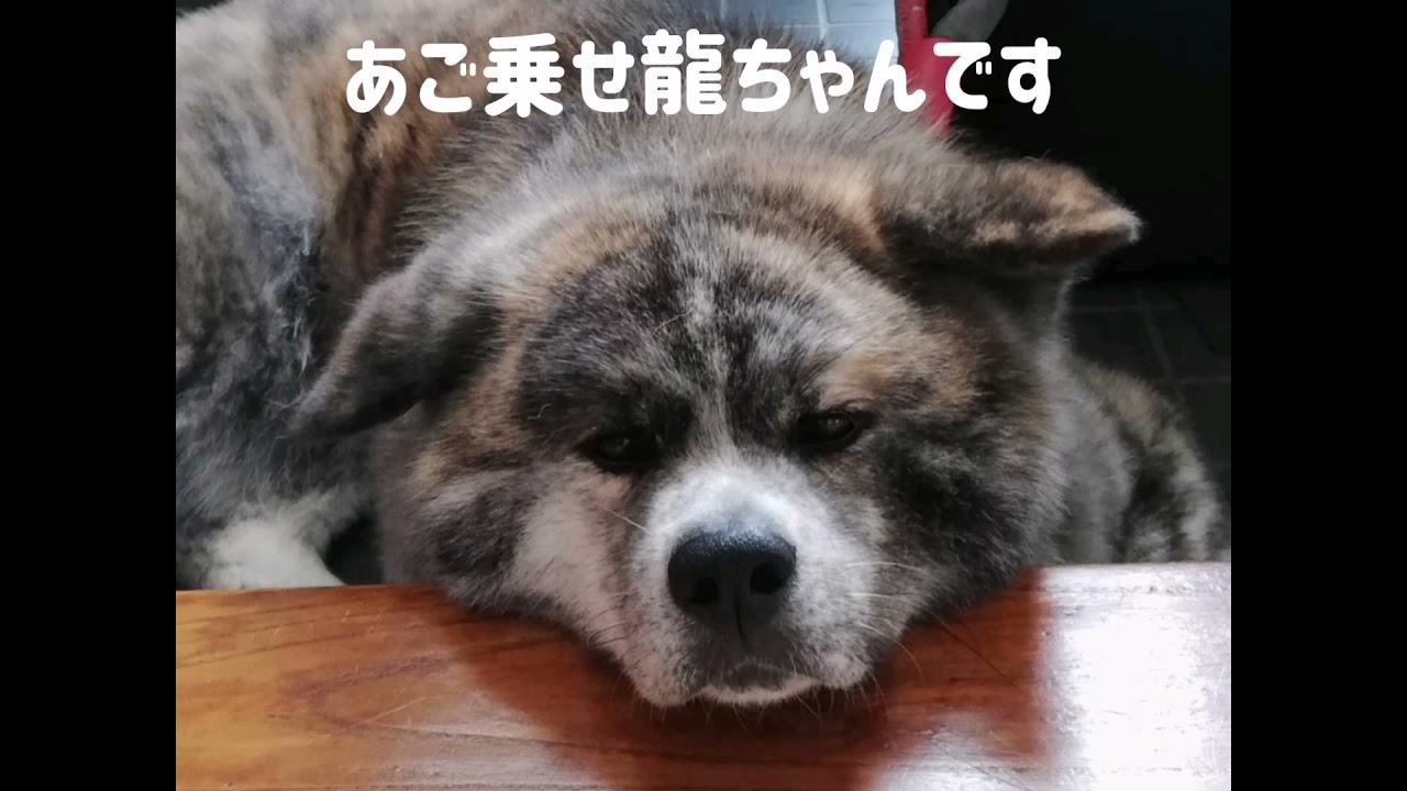 【秋田犬龍】フォトバージョン📷
