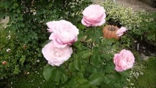 満開の我が家の庭です。