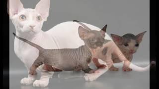 Бамбино кошка-такса