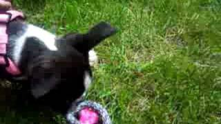 Spencer, the Boston Terrier, playing with one of her favorite toys!