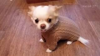 ЧТО БУДЕТ ЕСЛИ СОБАКУ ВПЕРВЫЕ ОДЕТЬ? What happens if the dog wear a sweater for the first time?