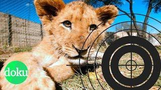 Löwen schießen für 20.000 Euro - Jagdtouristen in Südafrika | WDR Doku