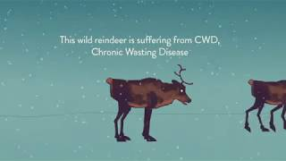 Chronic wasting disease (cwd) was diagnosed in march 2016 a wild reindeer (rangifer tarandus) from the nordfjella mountain area norway. this fi...