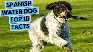 Spanish Water Dog  TOP 10 Interesting Facts