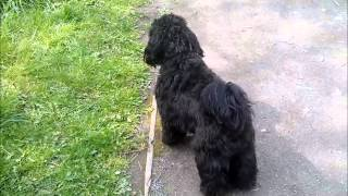 Theo The Shihpoo 12 Months Old