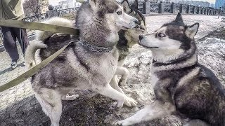 ХАСКИ И МАЛАМУТ НАПАЛИ НА СУЧКУ   знакомство собак