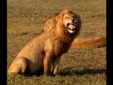 สิงโตหัวเราะ ตลก