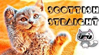 Наша шотландская кошка |  Скоттиш-страйт | SWEET HOME