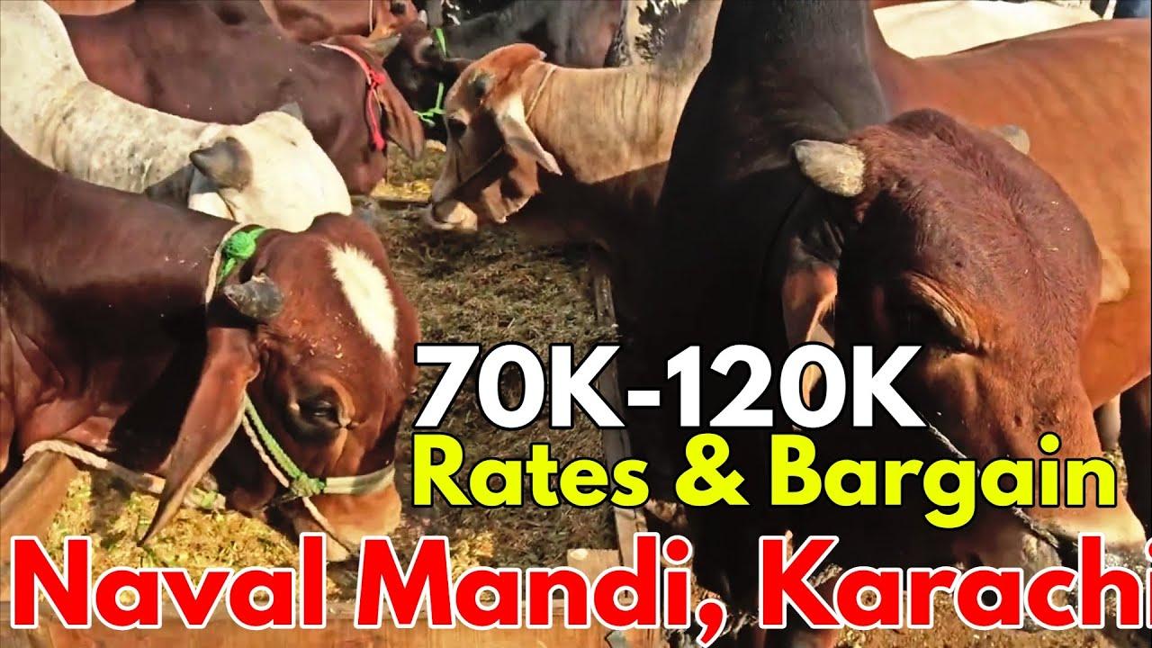 Naval Mandi Karachi Rates & Bargaining   70K-120K Range Qurbani Bulls  Cow Mandi Karachi Sohrab Goth
