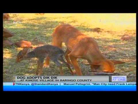 Unusual : Dog Adopts a Dik Dik