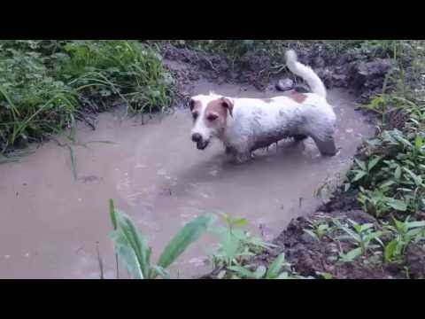 Zuma parson russel terrier digs the swamp