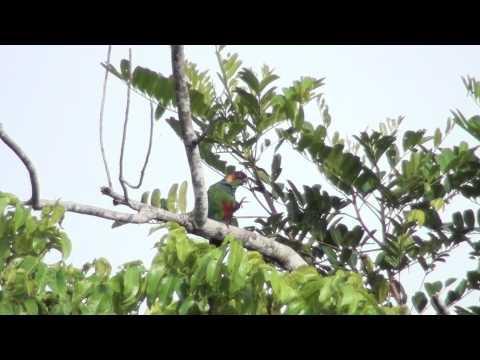 Blue-throated Parakeet – Pyrrhura cruentata (Wied, 1820)
