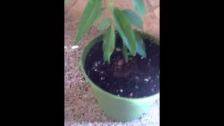vuclip How to grow an almond nut