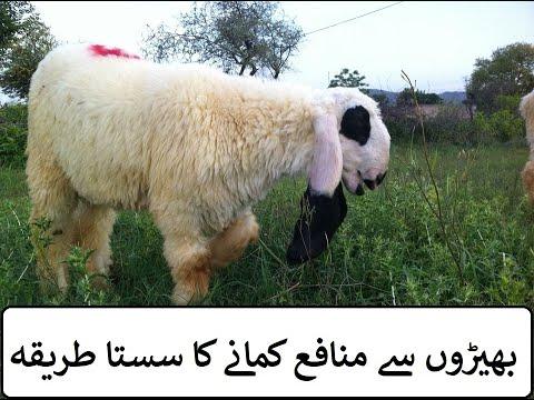 gulabi goat farm Archives - The UK News Latest