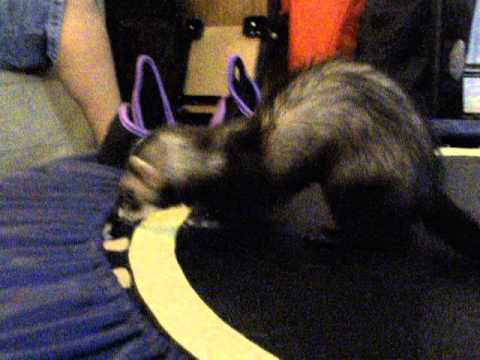 Rascal the Ferret Playing